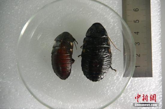 资料图:蟑螂。 中新社记者 钟欣 摄