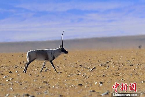 """被誉为""""高原精灵""""的藏羚羊,主要分布于中国以羌塘为中心的青藏高原地区,属于国家一级保护动物,交配季为每年12月份。图为雄性藏羚羊。 中新社记者 周文元 摄"""