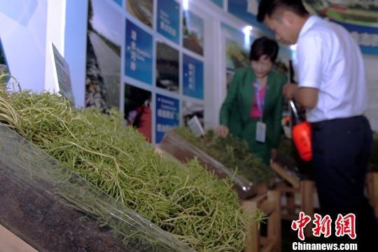 图为展示的人工培育的草毯。 张添福 摄