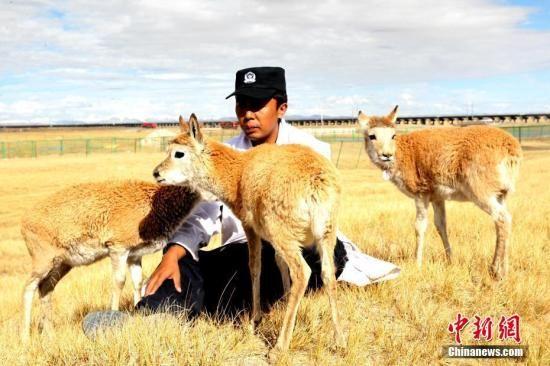资料图:可可西里的索南达杰自然保护站,七只藏羚羊受到管护人员的精心呵护。图为藏羚羊依偎在管护人员达才身边。 中新社记者 张添福 摄