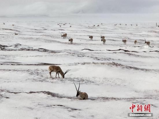 资料图:可可西里,几只藏羚羊正在雪中找食吃。赵新录 摄