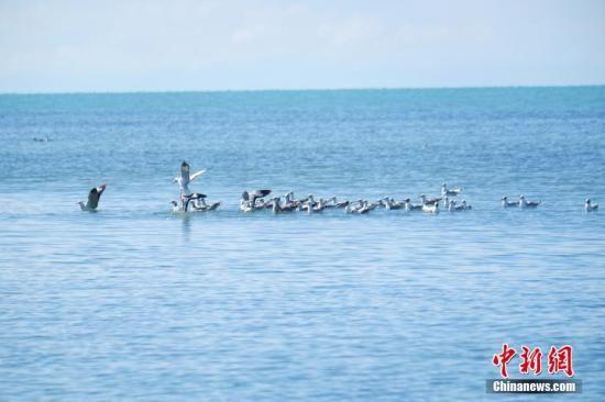 8月18日,青海湖北岸的海北藏族自治州刚察县仙女湾湿地,在此栖息的红嘴鸥在嬉戏。19日,记者从海北州委宣传部了解到,每年在青海湖迁徙停留的候鸟有92种、超过20万只,是中国境内候鸟繁殖数量最多、种群最为集中的繁殖地。 中新社记者 李隽 摄