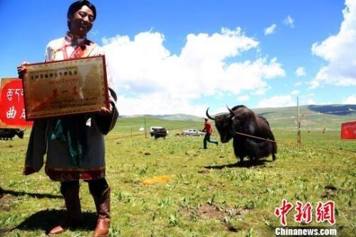 资料图:青海玉树牦牛种公牛评比第一名。 罗云鹏 摄