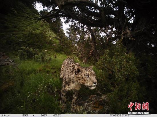 10月23日是世界雪豹日,当日山水自然保护中心对外发布一组红外相机近日在青海三江源地区捕获的雪豹影像。山水自然保护中心 供图