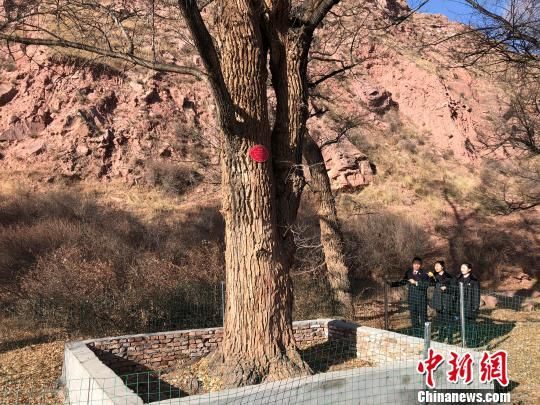 图为青海省祁连县检察院工作人员复查当地小叶杨保护现状。 罗云鹏 摄