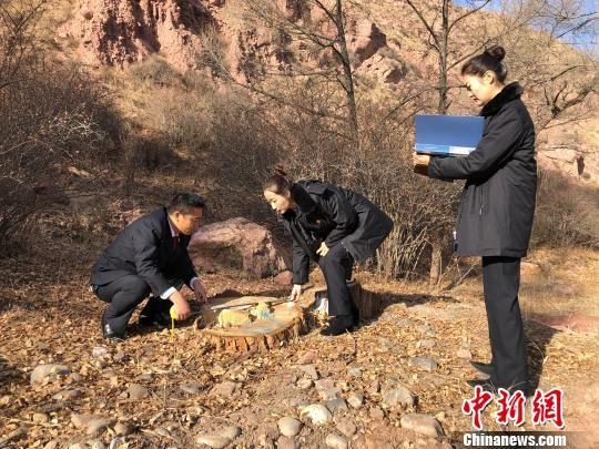 图为青海省祁连县检察院工作人员复核被砍伐小叶杨数据。 罗云鹏 摄