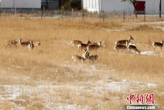 图为工作人员记录到2只普氏原羚幼羚同时由1只母羚哺乳。 吴永林 摄