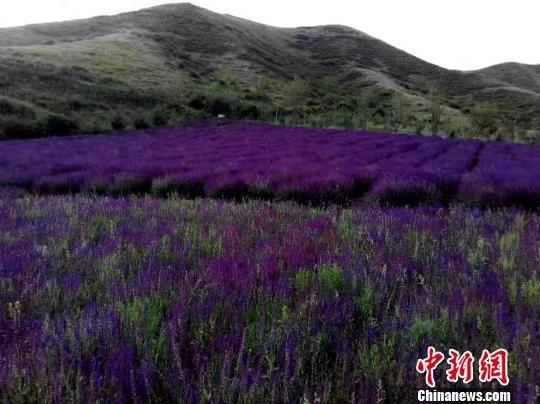 图为西宁市大通县打造花海为当地贫困村民脱贫致富。 孙睿 摄