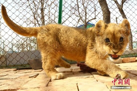 资料图:非洲狮宝宝。 罗云鹏 摄
