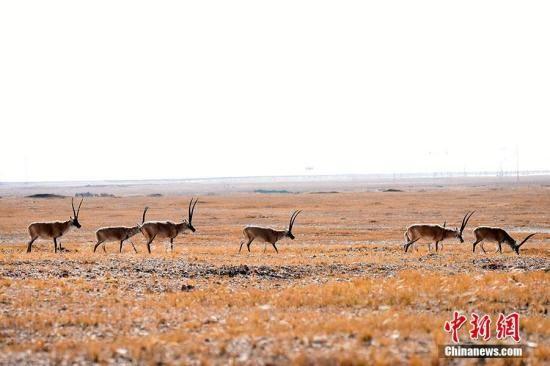 资料图:成群结队的藏羚羊辽阔的可可西土地上觅食。 切嘎 摄