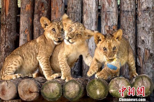 资料图为青藏高原野生动物园2018年育活的三只狮宝宝。青藏高原野生动物园供图