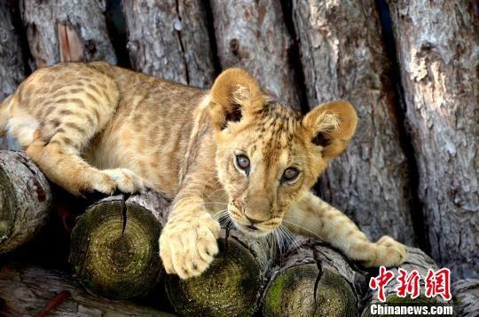 资料图为青藏高原野生动物园2018年育活的非洲狮宝宝。青藏高原野生动物园供图