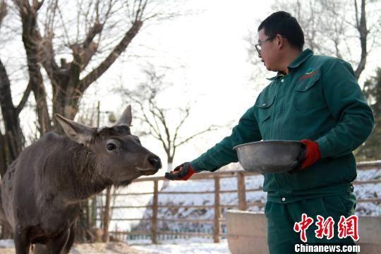 图为徐尚鹏正在饲喂马鹿。 李培源 摄