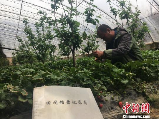 资料图为青海西宁一处草莓种植基地内一名工作人员正在检查草莓长势。 罗云鹏 摄