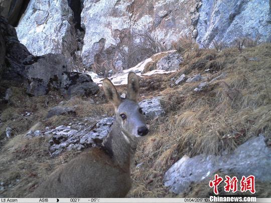 资料图为红外相机记录到的马麝影像。山水自然保护中心提供
