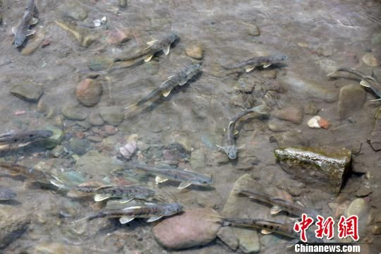 资料图为青海湖裸鲤。 罗云鹏 摄