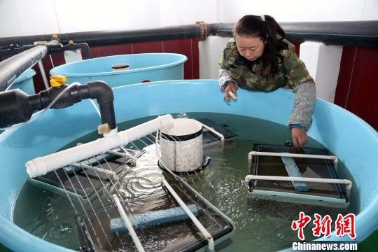 资料图为青海湖裸鲤育苗。 罗云鹏 摄