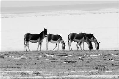 鄂陵湖边的藏野驴。