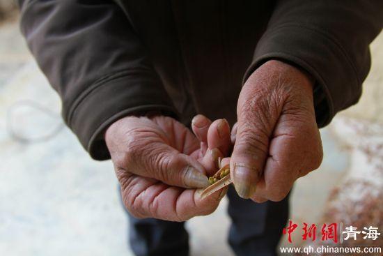 图一:图为李洪占向记者展示柠条种子。李培源摄