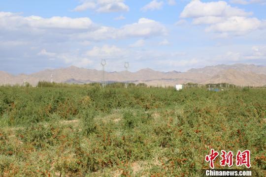 资料图为位于青海省海西蒙古族藏族自治州柴达木盆地中的枸杞种植园。 罗云鹏 摄