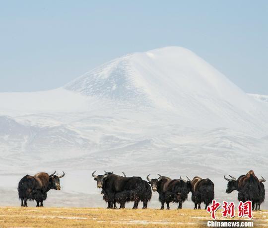 图为三江源野生动物。(资料图) 三江源国家公园管理局 摄