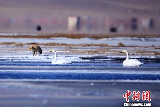资料图为青海湖畔的大天鹅。 青海湖国家级自然保护区管理局 摄