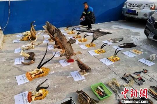 图为犯罪嫌疑人汪某指认珍贵濒危野生动物制品。青海省公安厅供图