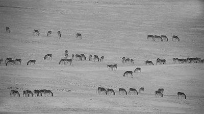 玛多野马岭拍到的成群藏野驴。图片由省生态环境厅提供