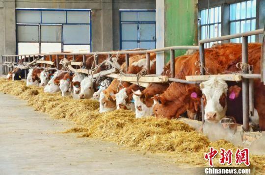 图为青海三江一力农业集团有限公司肉牛养殖大棚。 鲁丹阳 摄