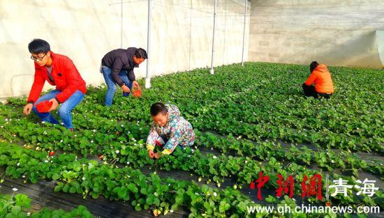 图为格尔木市民采摘鲜红草莓的场景。 李莎莎 摄