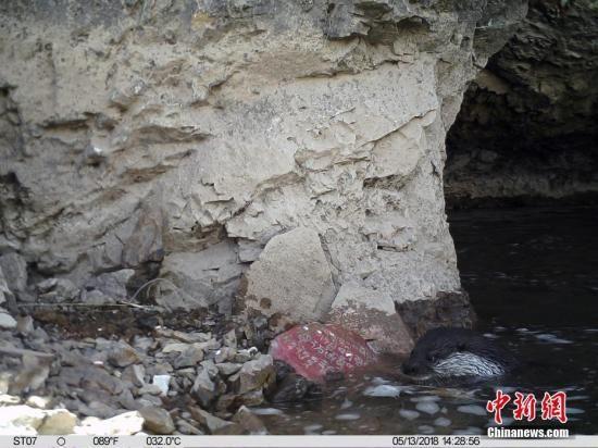 资料图,山水自然保护中心与青海省玉树藏族自治州林业局对外发布,在玉树市扎曲河由红外相机记录下欧亚水獭捕食鱼类活动影像。 山水自然保护中心 供图