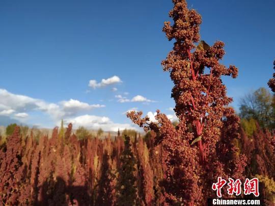 图为海西州乌兰县种植的藜麦。 钟欣 摄