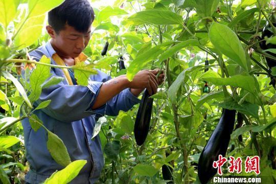 图为工作人员在阳光温室中采摘蔬菜。(资料图) 李隽 摄