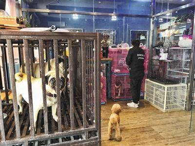 2月8日,东城区幸福大街一家宠物店内,工作人员将一只泰迪放入笼子内。新京报记者 王飞 摄