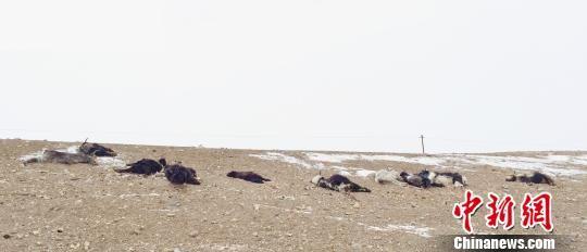 图为雪灾致家畜和野生动物死亡。 功霸扎西达杰 摄