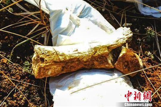 图为地质调查技术人员发现的真象腿骨化石。 钟欣 摄
