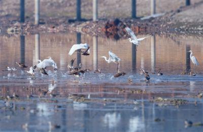 大白鹭翩翩起舞北川河。黎晓刚摄