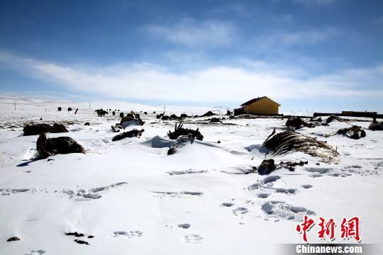 图为青南雪灾致牛羊死亡。(资料图) 钟欣 摄