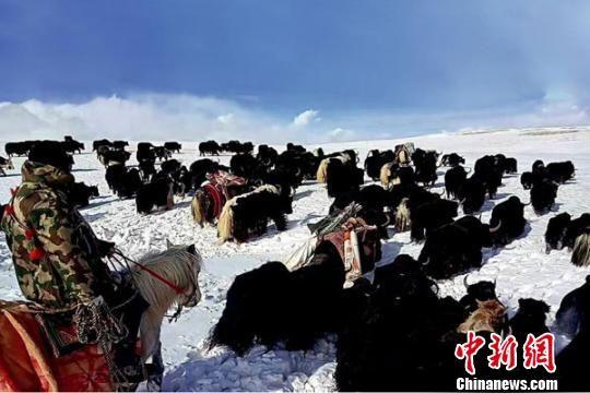 图为青海南部雪灾地区,牧民正在将自己的牛羊转场。(资料图) 钟欣 摄