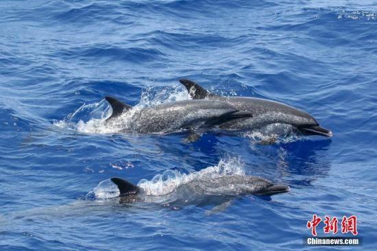 资料图:海豚。中新社发 林明利 摄