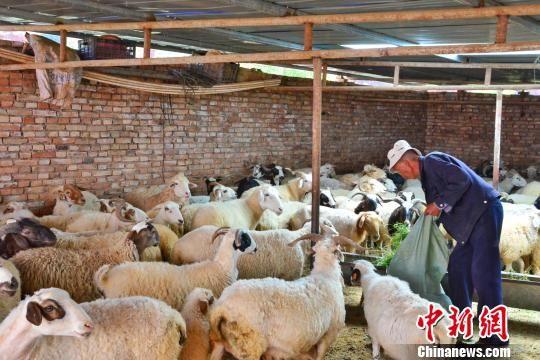 图为严才仁朋措正在羊圈里喂羊。 鲁丹阳 摄