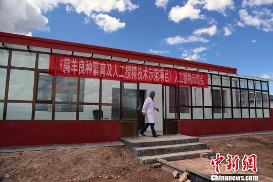 图为青海海北州藏羊良种人工授精技术示范点。 罗云鹏 摄