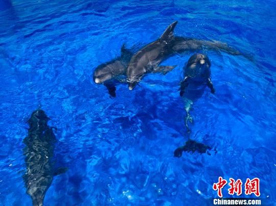 图为已脱离隔离检疫期的海豚,每头都食欲旺盛,游动欢快,没有任何身体不适的表现。 孙睿 摄