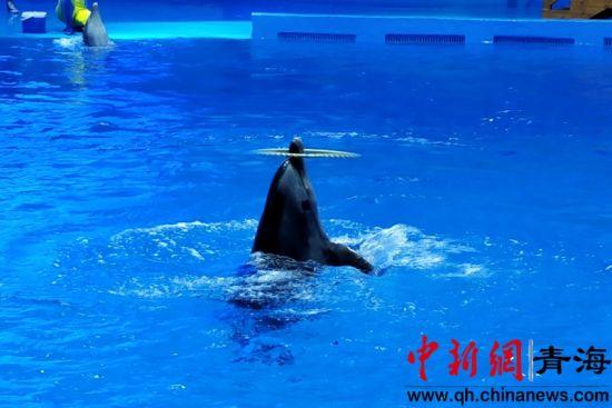 图为在海洋世界表演转呼啦圈的海豚。鲁丹阳摄