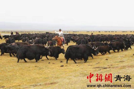 图为牧民和野血牦牛。聂文虎 摄