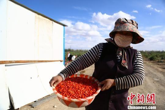 图为青海农牧民采摘的枸杞。(资料图) 罗云鹏 摄