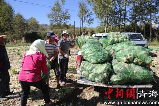 图为田间地头民众忙着采收娃娃菜。牟泉 摄
