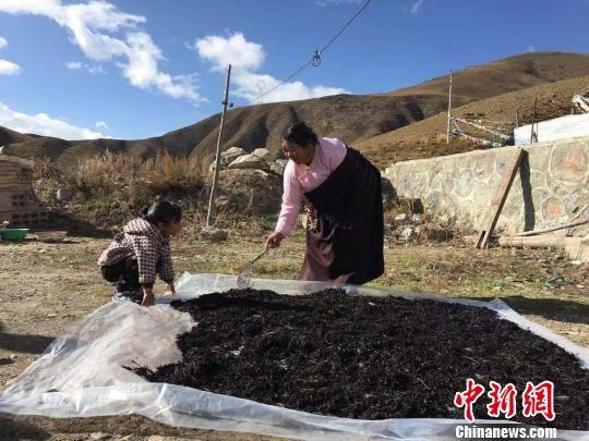 图为青海藏区少数民族妇女进行藏茶晾晒。(资料图) 钟欣 摄