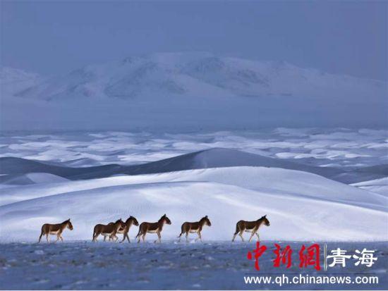 图为樊尚珍获提名奖作品《荒原中的野驴》。樊尚珍摄