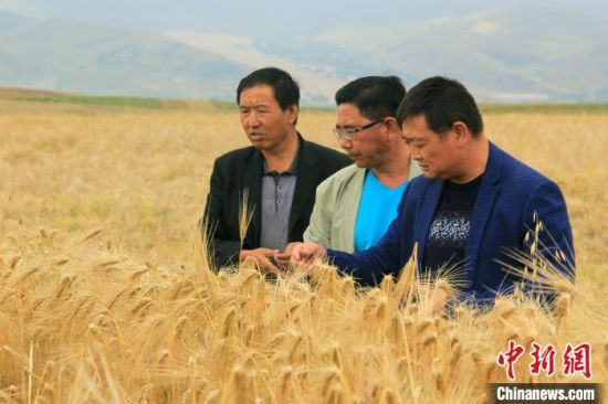 资料图为农技人员在青海门源田间查看青稞长势。 罗云鹏 摄
